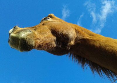 chestnut horse head and neck taken from underneath look upward towards blue sky and fluffy cloud
