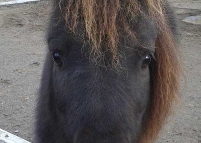 black mini horse looking directly at the camera with a little hay in her mouth