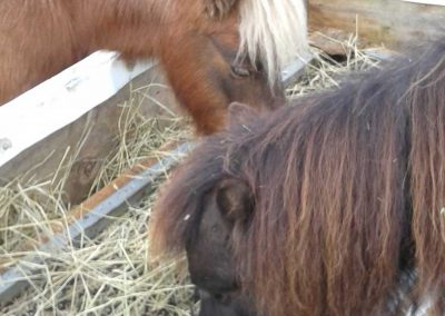 chestnut and black mini horses eating out of a hay box