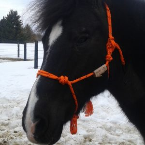 Head shot of black pony wearing an orange horsemanship training halter