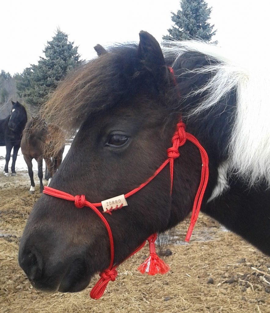 Head shot of brown and white pony wearing a red horsemanship training halter.