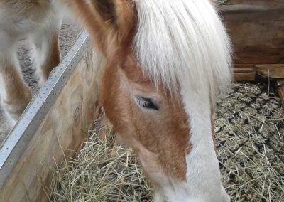 head shot of golden Haflinger mare with white forelock and blaze