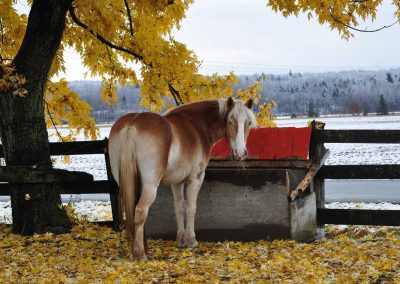 Haflinger mare looking toward camera. She is eating out of a feed box beside a maple tree that has yellow leaves. There are yellow leaves around her feet and on the other side of her feed box is a field and forest that have a frosting of snow.