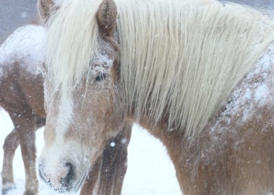 Golden Haflinger mare with her fuzzy winter coat looking back toward camera. She has snow on her coat and there is snow falling.