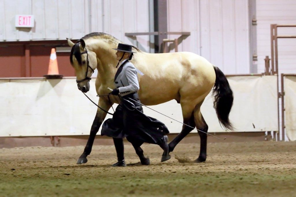 Kim Jungman leading buckskin Andelusian stallion