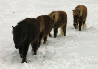 Four mini horses in a line walking through deep snow toward the camera