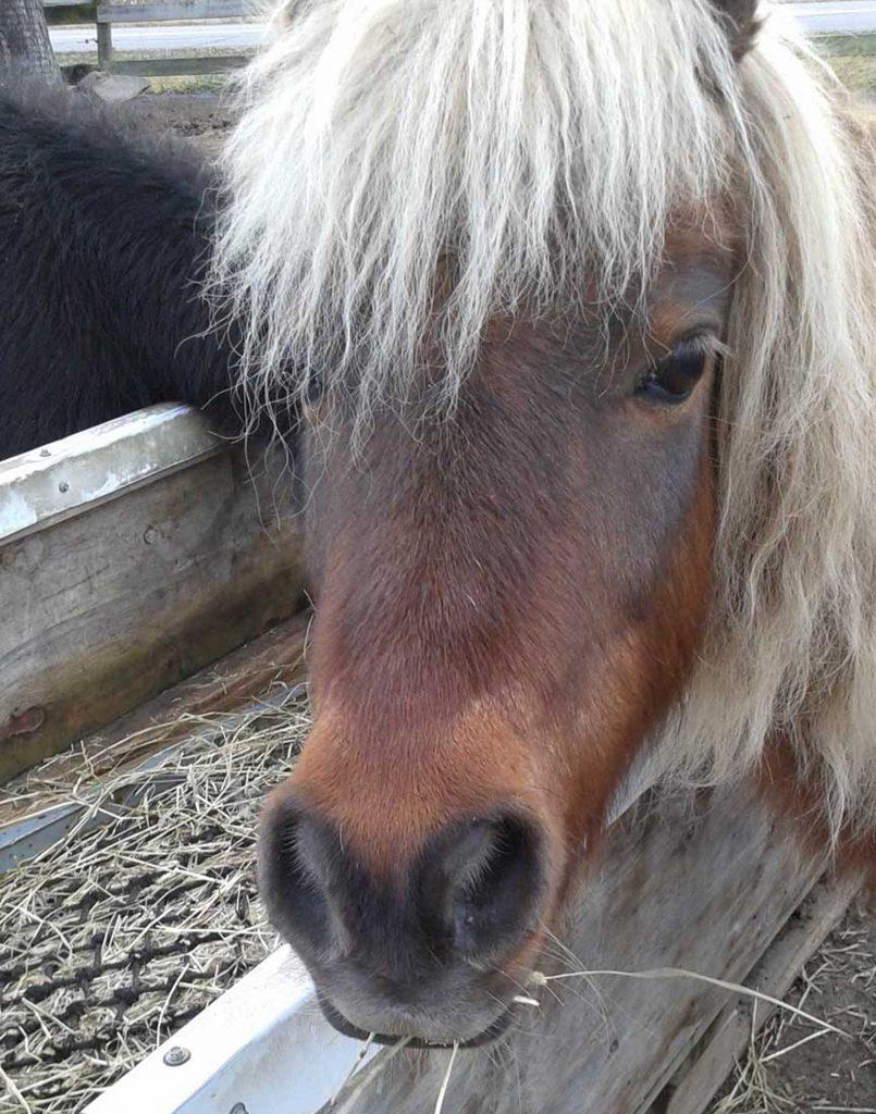chestnut mini horse head with fuzzy mane