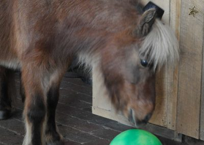 mini horse with green ball